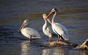 Фотография Птицы Камни Пеликаны Трое 3 American White Pelican животное
