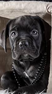 Фотографии Собаки Черный Кане корсо Корзинка Животные