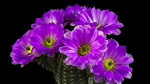 Картинки Кактусы Вблизи Черный фон Фиолетовый Цветы