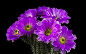Картинки Кактусы Вблизи Черный фон Фиолетовый цветок