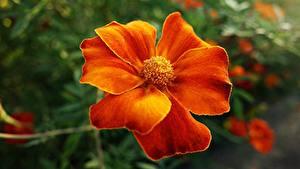 Картинки Бархатцы Вблизи Оранжевый Цветы