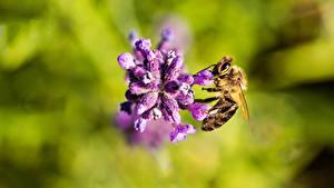 Фотографии Вблизи Пчелы Насекомое Боке девушка