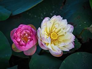 Фотография Лотос Крупным планом Двое Сверху Розовая Цветы