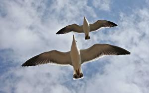 Фотографии Небо Чайка Птицы Облака Вдвоем Вид снизу Летящий Животные