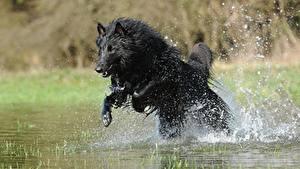 Обои Собаки Овчарка Брызги Прыжок Черный Belgian shepherd