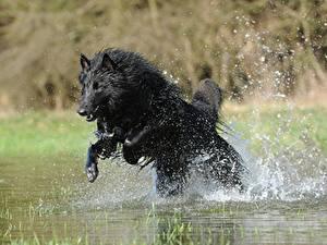 Обои Собаки Овчарка Брызги Прыжок Черный Belgian shepherd Животные