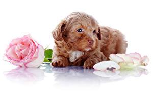 Фото Собаки Розы Белый фон Щенок Лепестки Цветы