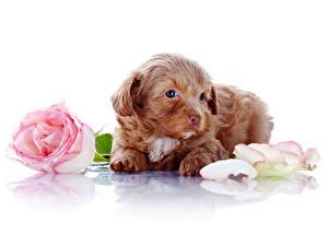 Фото Собаки Розы Белый фон Щенок Лепестки Животные Цветы