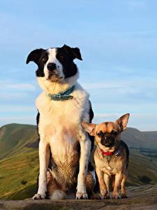 Картинки Собака Два Чихуахуа Взгляд животное