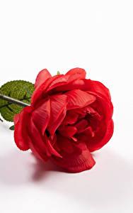 Обои Розы Вблизи Белый фон Красный Цветы