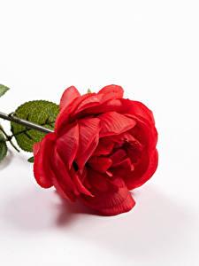 Обои Розы Крупным планом Белый фон Красный
