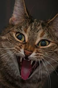 Фотографии Кошки Клыки Злость Усы Вибриссы Морды Смотрят Смешная Животные