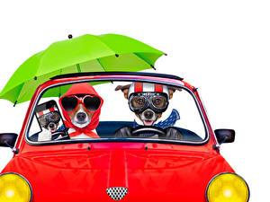 Фото Собаки Белым фоном Две Джек-рассел-терьер Очков Зонтик Смартфоны Смешной Животные