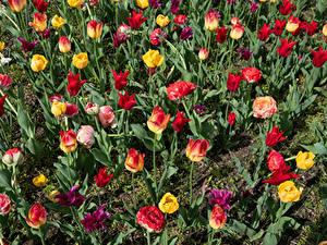 Картинки Тюльпаны Много Разноцветные Цветы