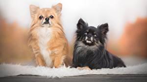Фото Собаки Чихуахуа Два Черных Рыжие животное