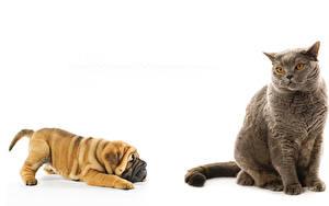 Фотографии Коты Собака Белом фоне 2 Бордоский дог Животные