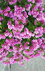 Фотографии Герань Розовые Цветы