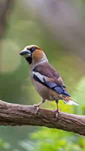 Обои Птицы Ветвь Боке hawfinch животное