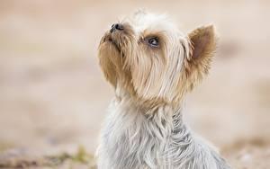 Обои Собака Йоркширский терьер Головы