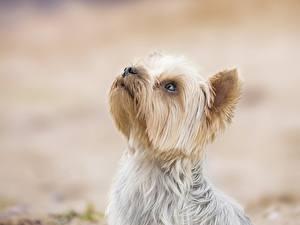 Обои для рабочего стола Собака Йоркширский терьер Головы Животные