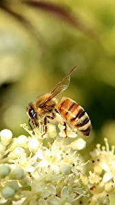 Фотографии Пчелы Крупным планом Насекомое животное