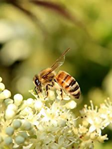 Фотографии Пчелы Вблизи Насекомое животное