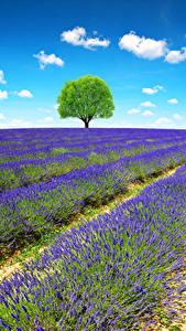Фото Франция Прованс Поля Лаванда Деревья Природа