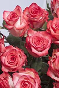 Фото Розы Крупным планом Розовая Цветы