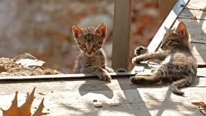 Обои Кот Котенка Двое Доски животное