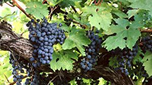 Картинки Виноград Ветка Лист Еда