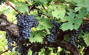 Картинки Виноград Ветвь Листва