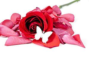 Картинка Роза Бабочка Белом фоне Красный Лепестки цветок