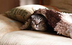 Фотография Кошка Взгляд Подушка Животные