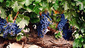 Картинки Виноград Ветвь Листья