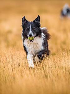 Картинка Собака Поля Бордер-колли Животные