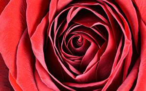 Фотографии Вблизи Макро Розы Красный Цветы