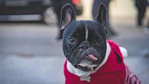 Картинка Собаки Французский бульдог Язык (анатомия) Морда Черных Животные