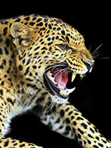 Обои Большие кошки Леопард Клыки Черный фон Зубы Морды Рычит животное