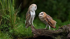 Картинка Птицы Совообразные Вдвоем Tyto Животные