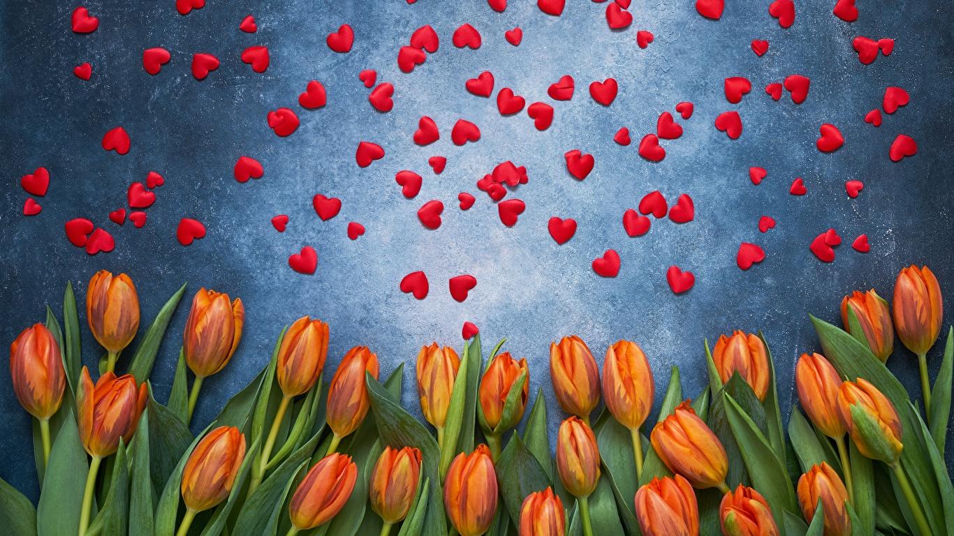 Фотография День святого Валентина сердечко тюльпан цветок 1366x768 День всех влюблённых серце сердца Сердце Тюльпаны Цветы