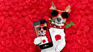 Фотография Собаки Розы Джек-рассел-терьер Очки Смартфон Лепестки Красный фон Забавные Животные