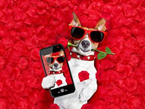 Фотография Собака Роза Джек-рассел-терьер Очков Сматфоном Лепестки Красном фоне Смешные Животные