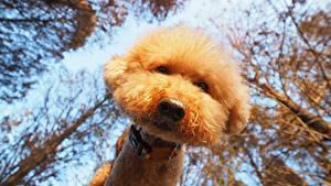Фотография Собаки Пудель Смотрит Вид снизу Морда