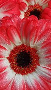 Фото Герберы Макро Крупным планом Капли Красный цветок