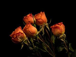 Фотография Розы Черный фон Оранжевый цветок