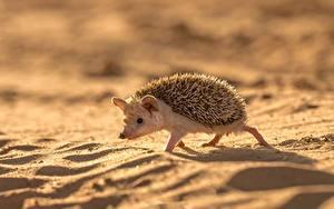 Фотография Ежики Песок Животные