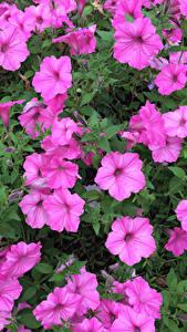Фотографии Петунья Розовый цветок