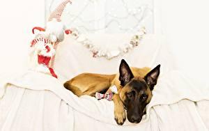 Обои Собака Кровати Овчарки Бельгийская овчарка Животные