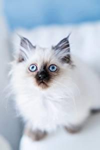 Фотографии Кошки Бирманская кошка Белый Взгляд животное