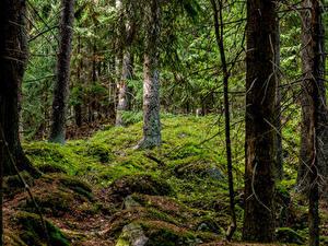 Картинка Хельсинки Финляндия Лес Дерева Мха Природа